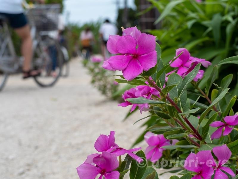 竹富島の集落で日中に撮影した路地の花。自転車が写ってしまっている