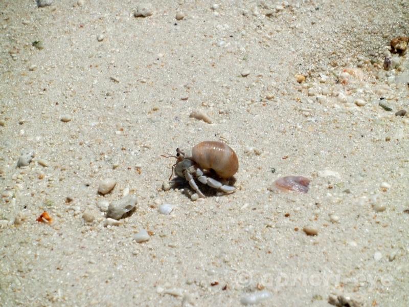 竹富島のコンドイビーチの浜を歩く小さなヤドカリ