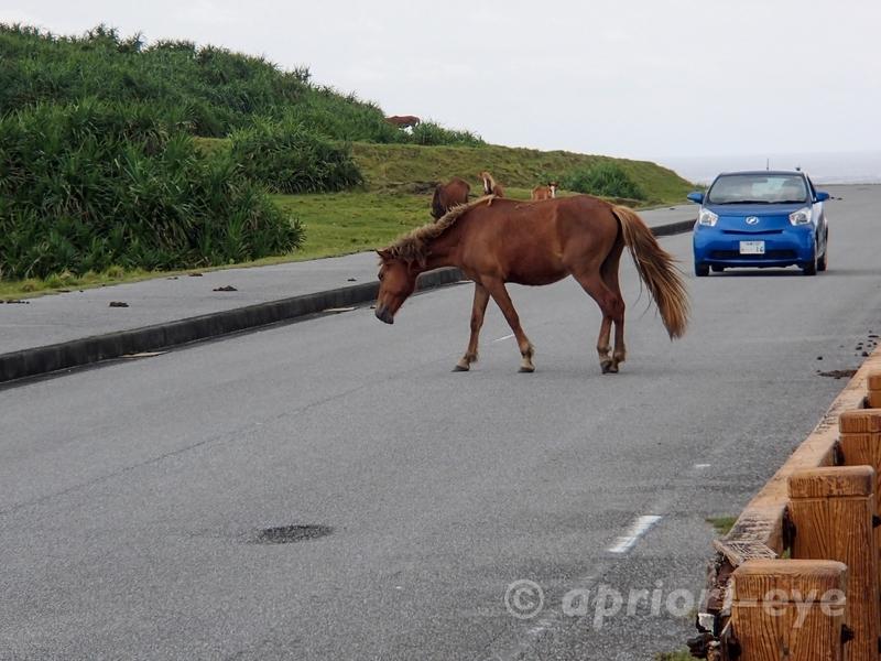 道路を横切る与那国島の馬。青い車が道路で止まって待っている