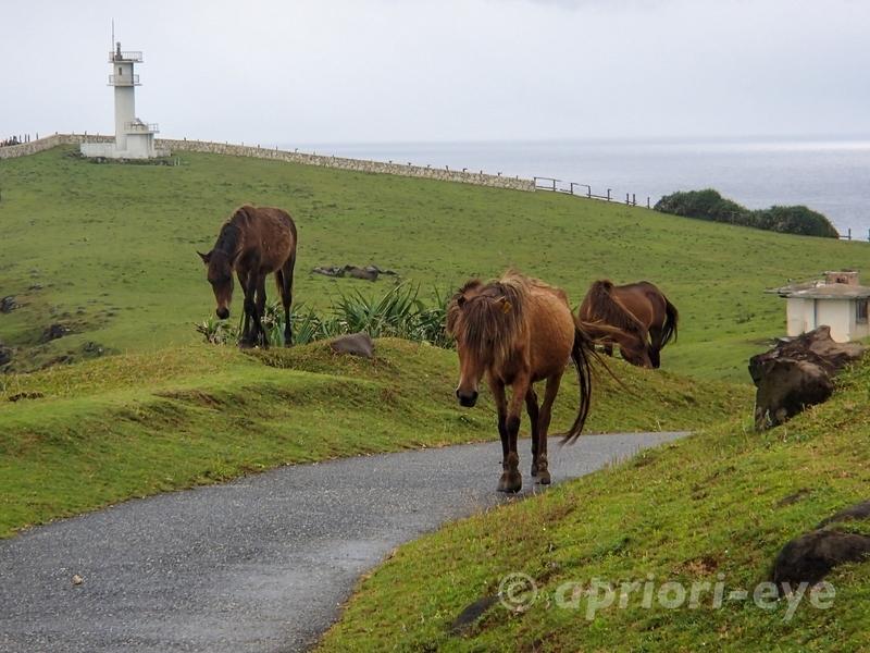 与那国島の東崎展望台周辺を歩き回る与那国馬