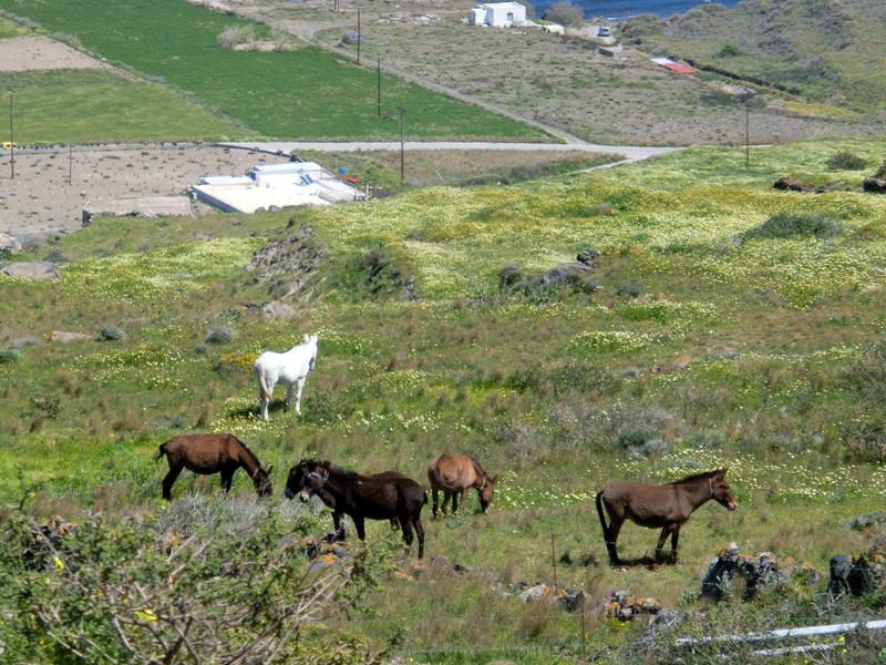 フィラからイアへのハイキングトレイルから見える放牧された馬