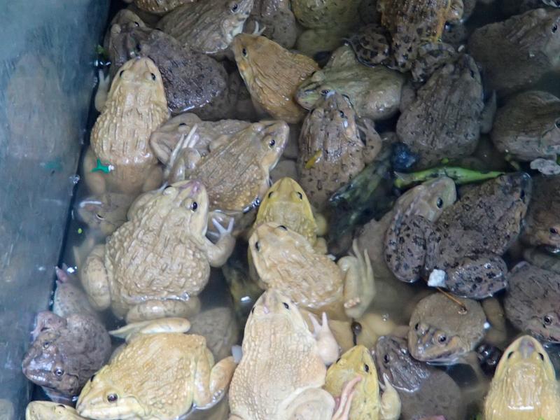 タンブン用に売られているカエル