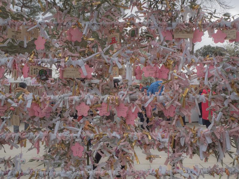 櫻木神社のピンク色の絵馬と金色と白色のおみくじのコントラストが美しいおみくじ掛け