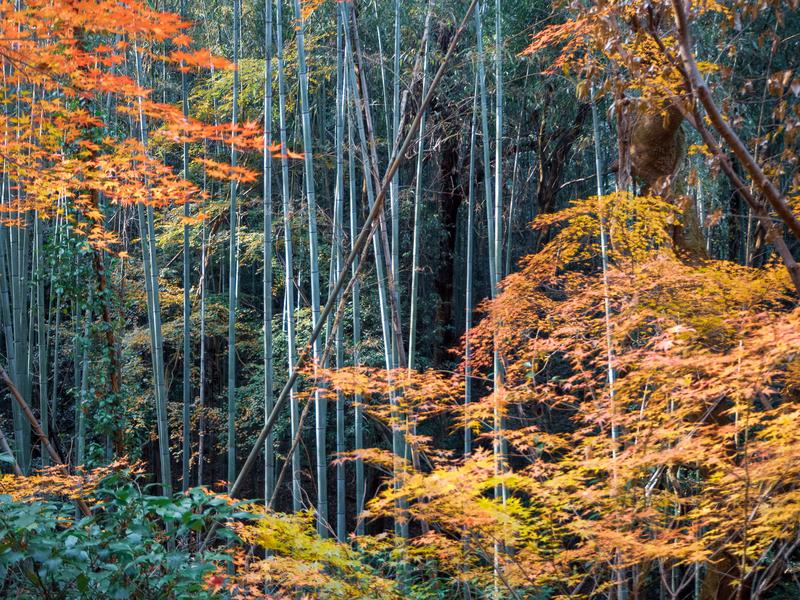 犬山市にある寂光院周辺の紅葉。竹林の中で赤と黄色になったもみじが美しい