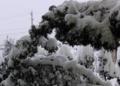 雪の重みで撓む針葉樹