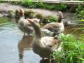 【ブログから】金鱗湖のガチョウトリオ