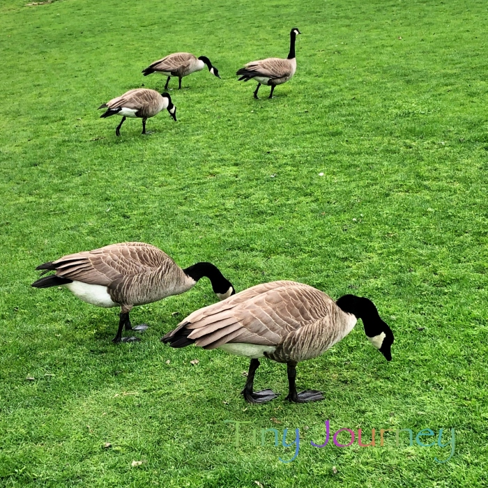 芝生を闊歩するグースたち