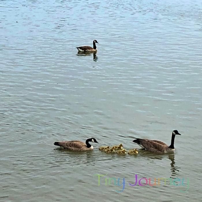 親子連れで泳ぐグースたち
