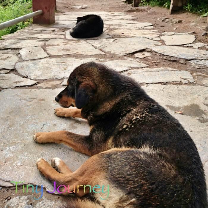 山道の真ん中でくつろぐ犬たち