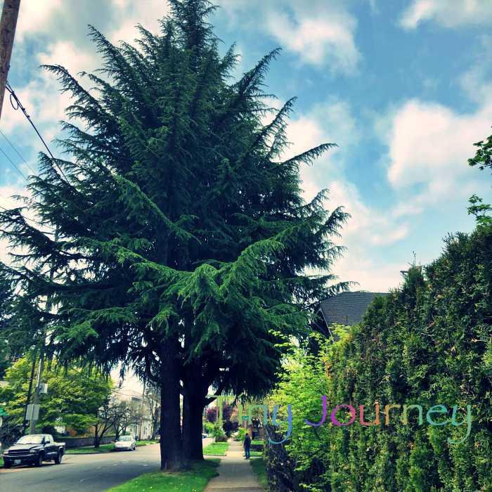 住宅街に立つ圧倒的な大きさの木