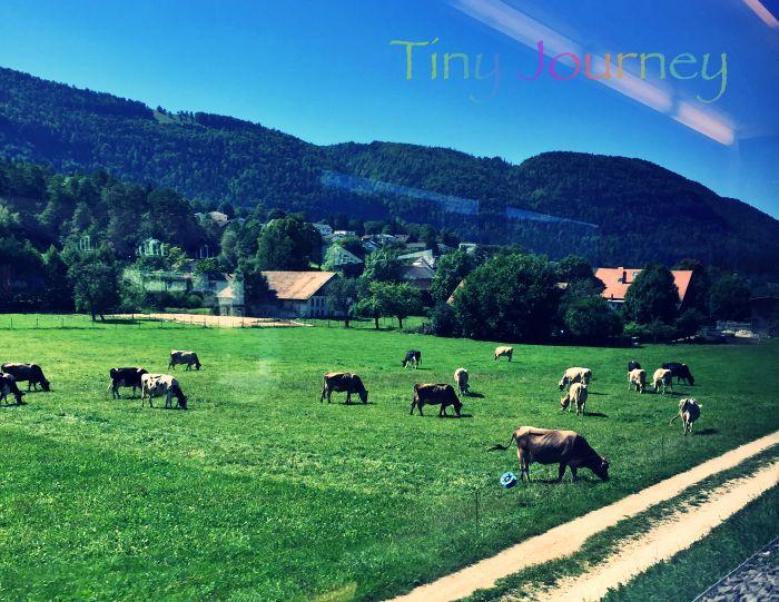列車の窓から見えた放牧中の牛たち