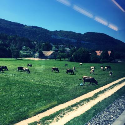 スイス国鉄の車窓から見える放牧中の牛たち