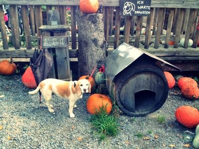ユッカーファームの入り口に居た看板犬ビーグル