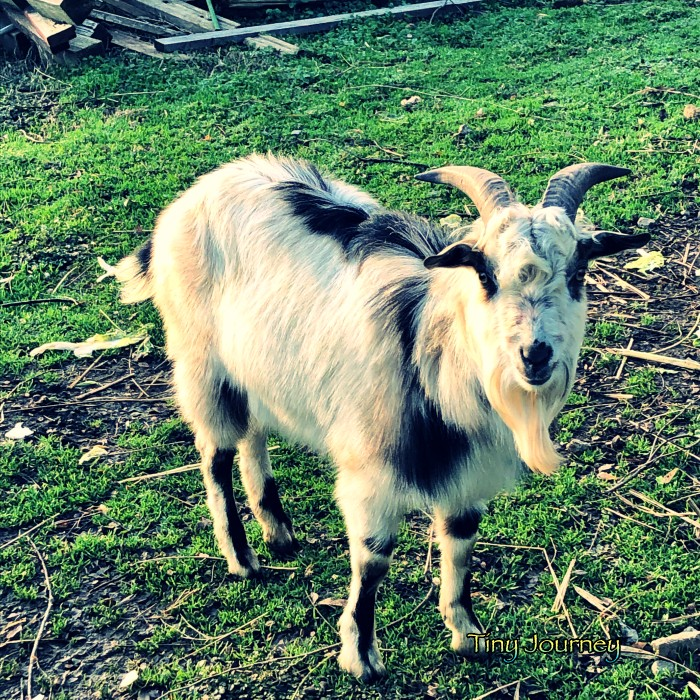 牛柄のヤギ