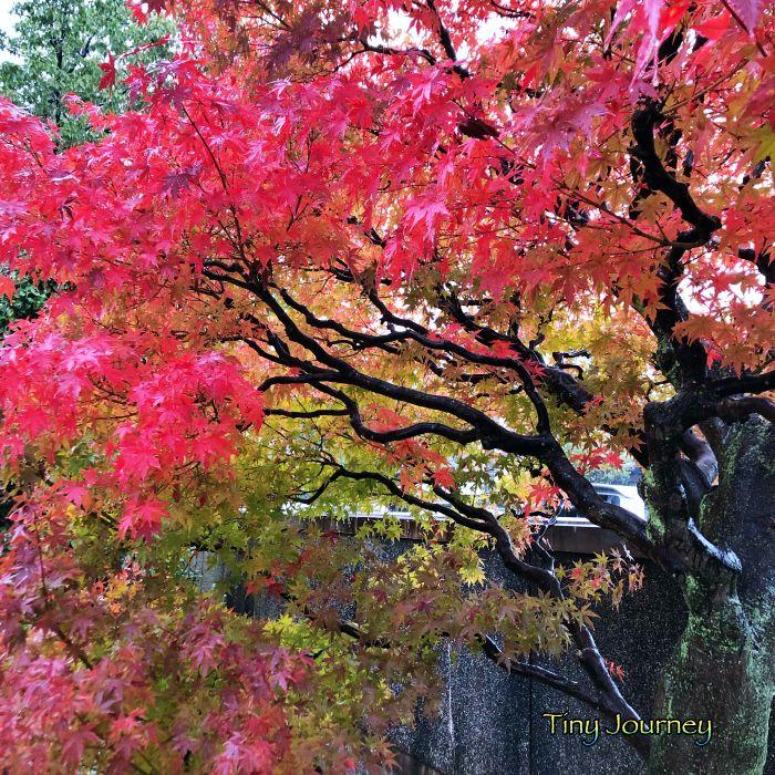 鮮やかに紅葉する庭木