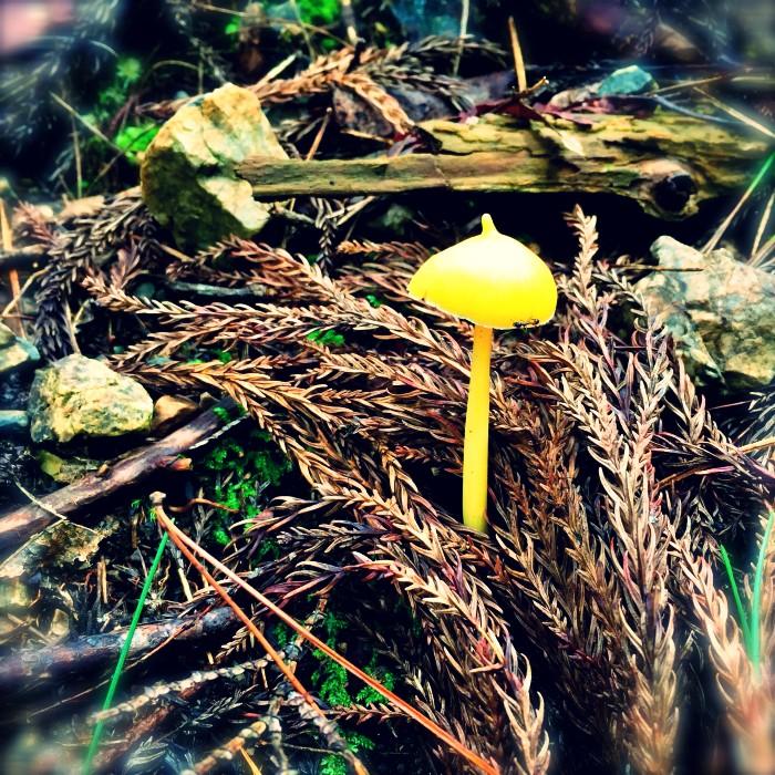 黄色い細軸のきのことカサをあるく蟻