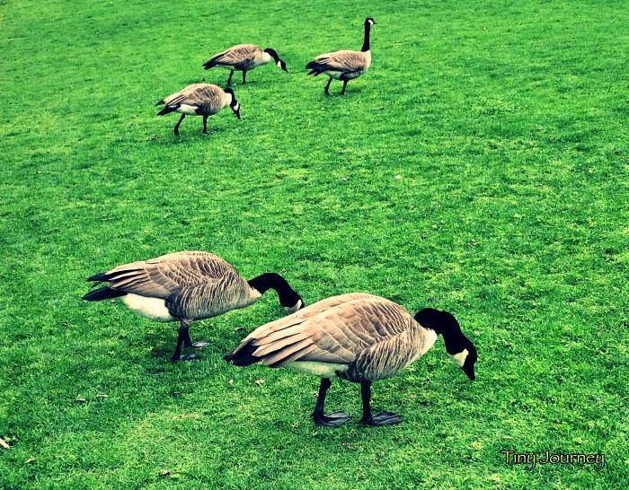 緑地を散歩するグースたち
