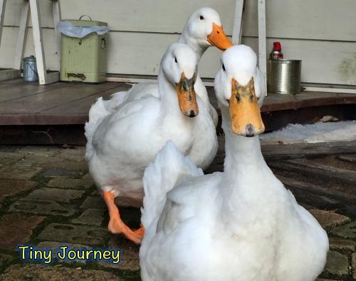 一列に並ぶ三羽のアヒル