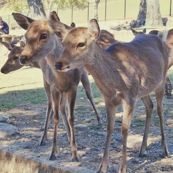 三匹の若鹿
