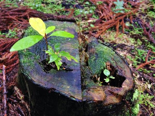 切り株に開いた穴から芽を出す新芽