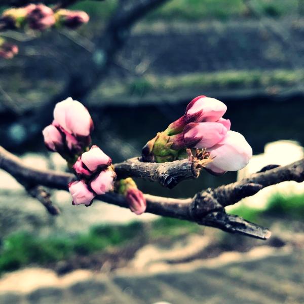 膨らみ始めた桜の蕾