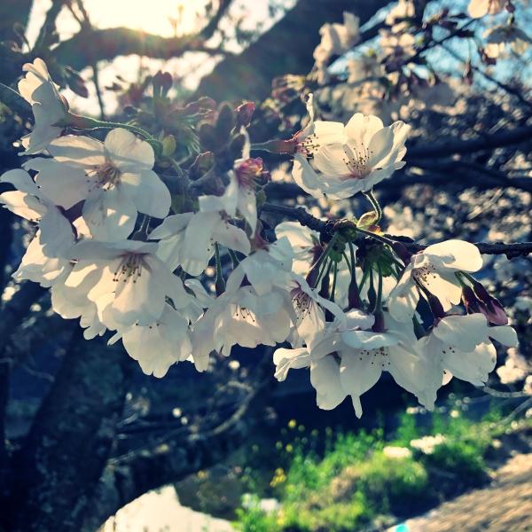 下向きに満開になる桜華