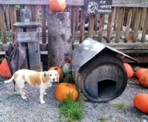 カボチャに囲まれた犬小屋とブチ犬