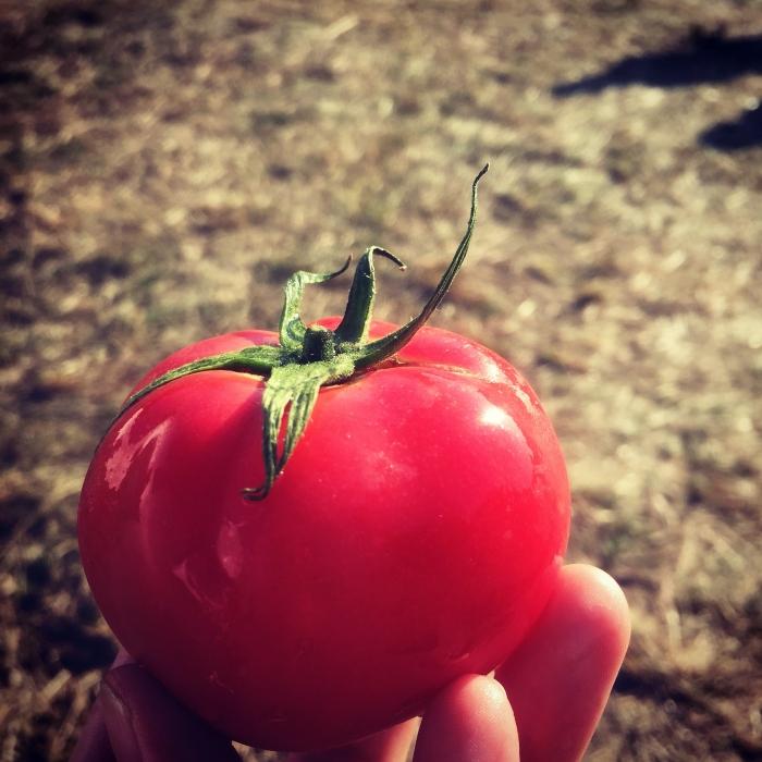 音楽フェスで丸かじりしたツヤツヤのトマト