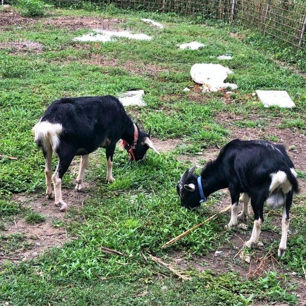 草を夢中で食む二頭の黒山羊