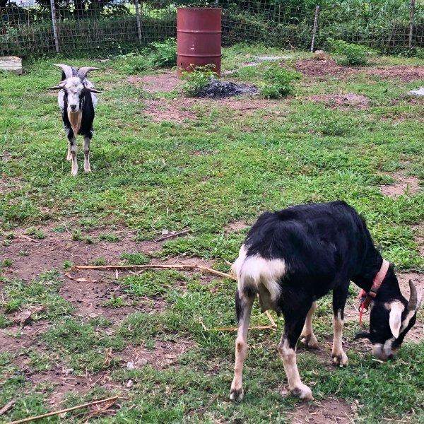草を食む雌の山羊と大きな角と立派な髭をを持つ雄の山羊