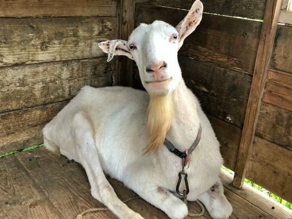 だいぶ熟年っぽい大きな白山羊。