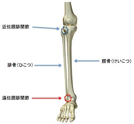 画像:脛腓関節(tibiafibula joint)