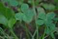 [クローバー][植物][Clover]小さな奇跡