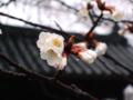 [桜][岡山]みずみずしくて美味しそうな桜花