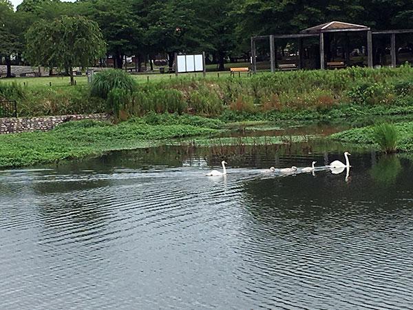 手賀沼の白鳥親子