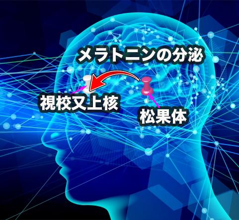 脳内のメラトニンの分泌の様子