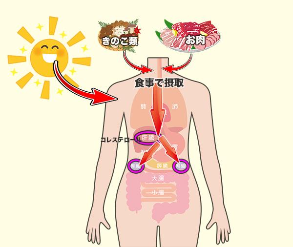 ビタミンDの体内吸収させている図