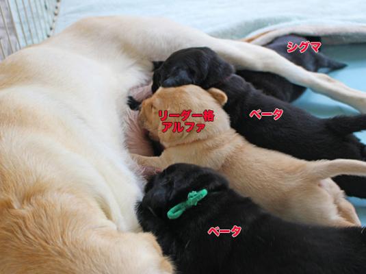 お乳を飲む子犬達にも順位が決まっている