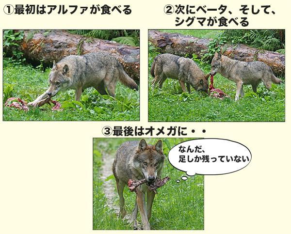 オオカミの食事の順位はトップのアルファから順にベータ、シグマ、オメガへ
