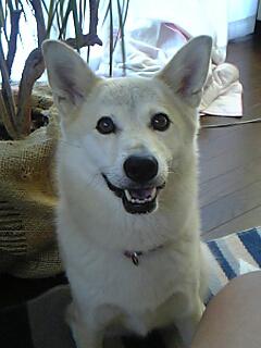 我が家の愛犬ハナ