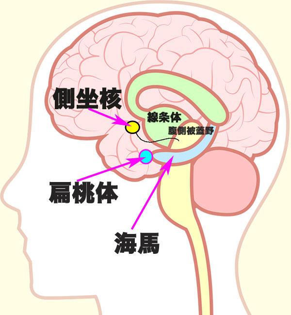 脳の記憶や感情を司る主な器官図