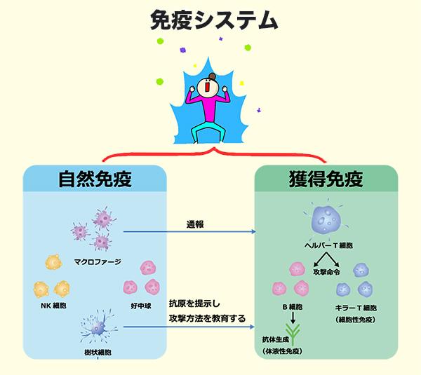 免疫システムの図解