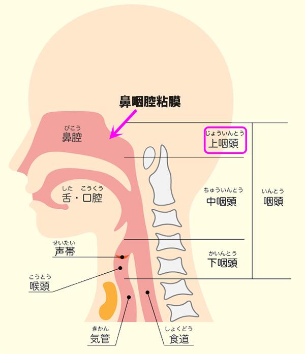 鼻咽腔粘膜の位置