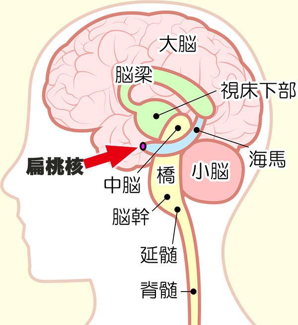 習慣化に関わっている脳の扁桃核