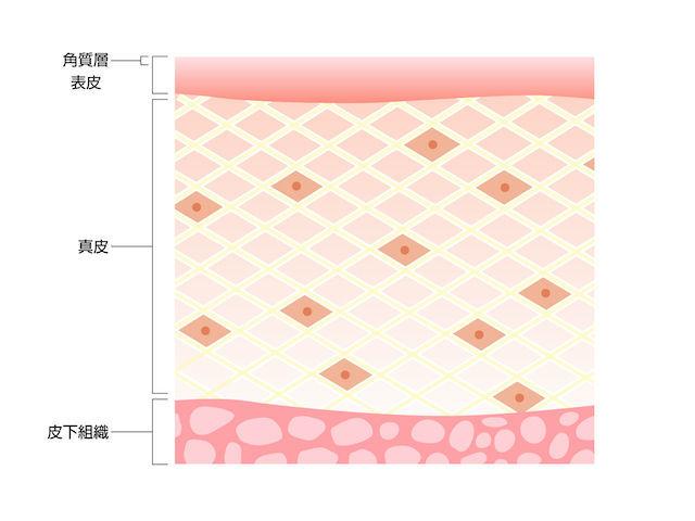 真皮の構造、断面図