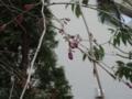 [植物]枝垂れ桜