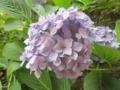 [植物]6.23 紫陽花