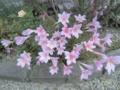 [植物]6.25 ゼフィランサス/カリタナ
