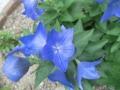[植物]7.2 桔梗…?