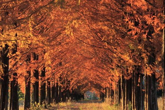 メタセコイア並木(あきる野市)紅葉